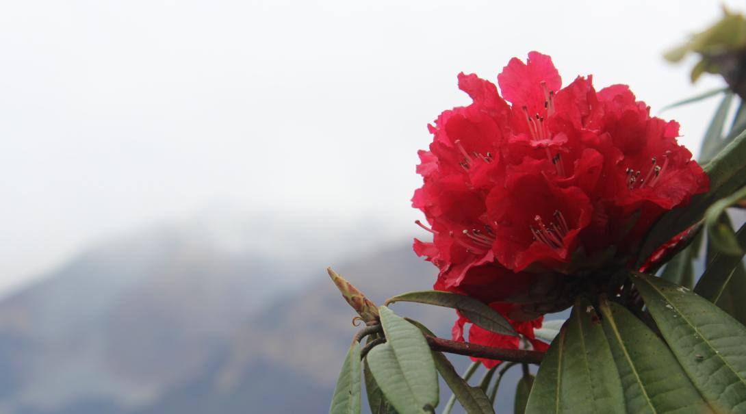 El monitoreo de regeneración de azaleas es parte importante de nuestra labor ambiental en Nepal.